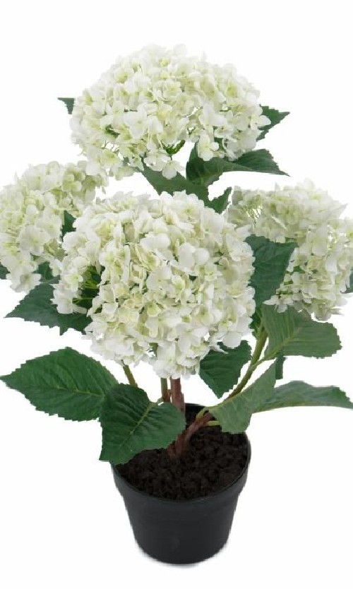 Hortensiabusk H 65cm